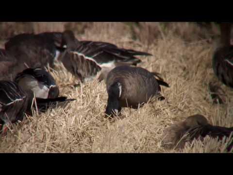 シジュウカラガン(1)冬鳥(宮城県・伊豆沼ほか) - Cackling
