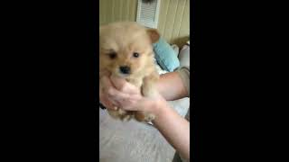 best of cute pomeranian puppies & baby and kids playing together