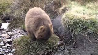 Тасмания  Редкий зверь вомбат
