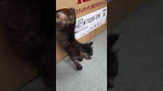 子猫ちゃんの大脱出!!段ボールに空いた小さな穴から、何とか逃げ出そうとする姿がキュート