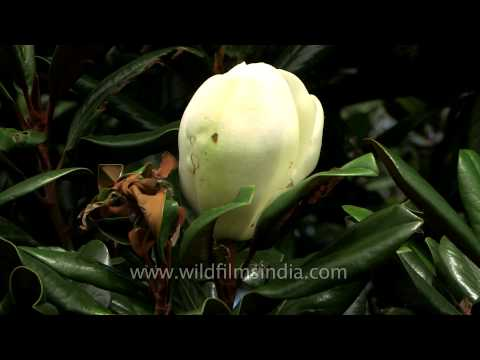 Magnolia grandiflora blossom in the Kumaon Himalaya