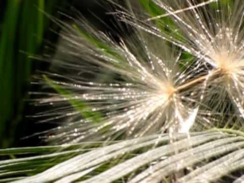 Seed, Pod and Flower of Adenium Obesum @ Mylapore - Chennai