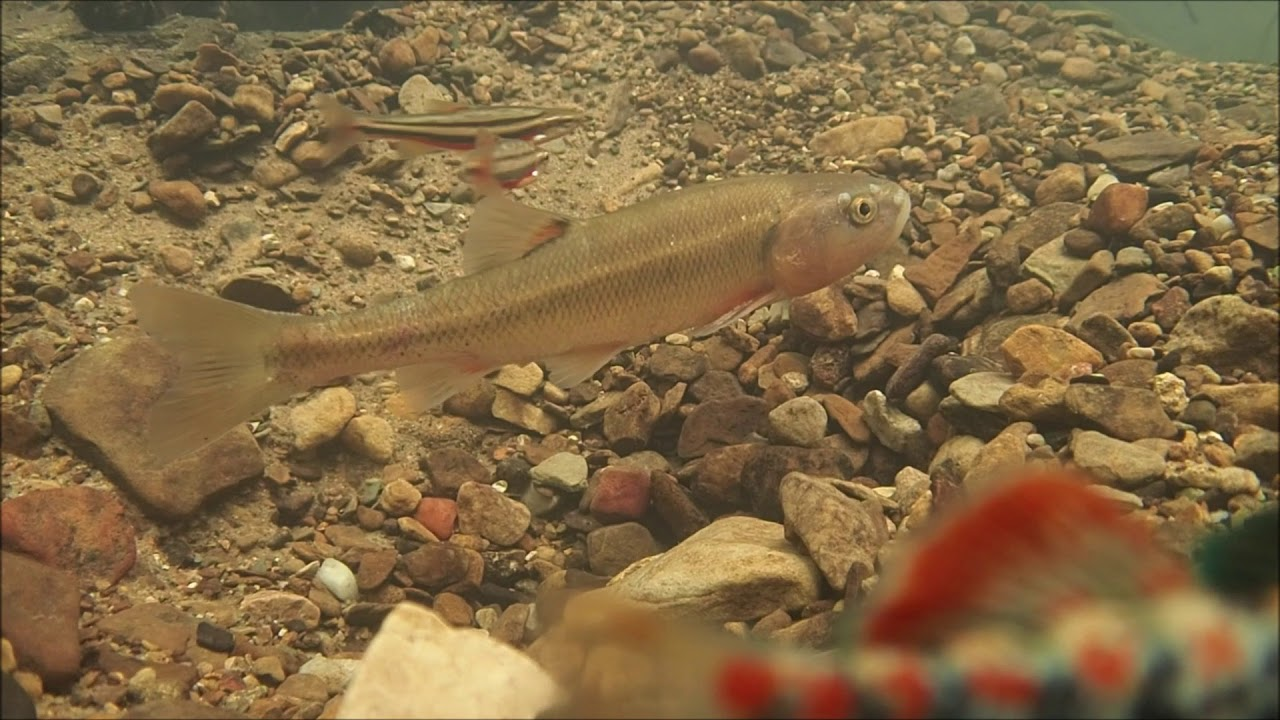 Southern Red-bellied Dace, Orange-throat darters, and Creek Chubs, oh my!