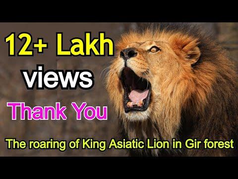 गिर जंगल के राजा बब्बर शेर की दहाड़ The roar of King Asiatic Lion in Gir  forest
