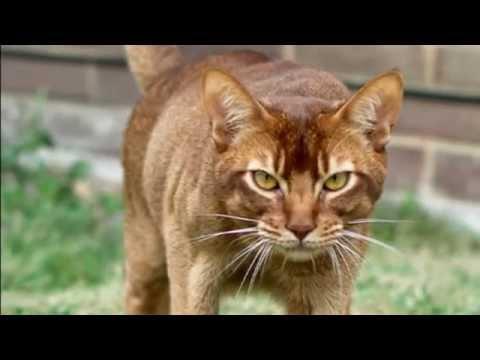 Abyssinian Cat Noises