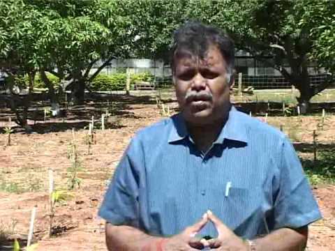 Ultra High Density Plantation in Mango