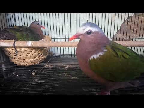 Penangkaran burung punai tanah