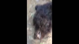 Попытка нападения медведя на человека.