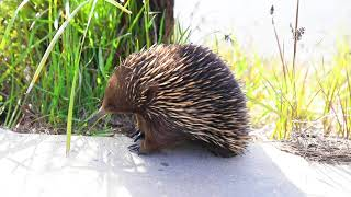 Two Minutes with an Echidna