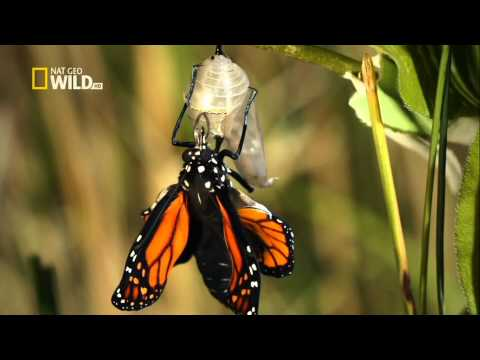 cycle of a butterfly .. Exclusive in HD