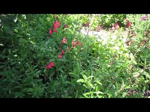 "Salvia Greggi: Lisa's Landscape & Design ""Plant Pick Of The Day"", Owner Lisa LaPaso"
