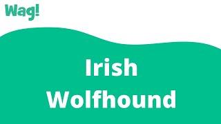Irish Wolfhound | Wag!