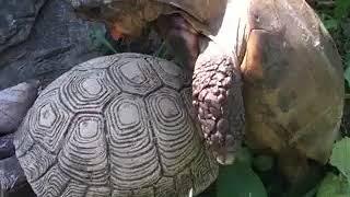 Черепаха парується з садовою фігурою_Educational movie is used on batrachos.com