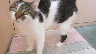 Kот успокаивает. Кот успокаивает кошку в период течки.