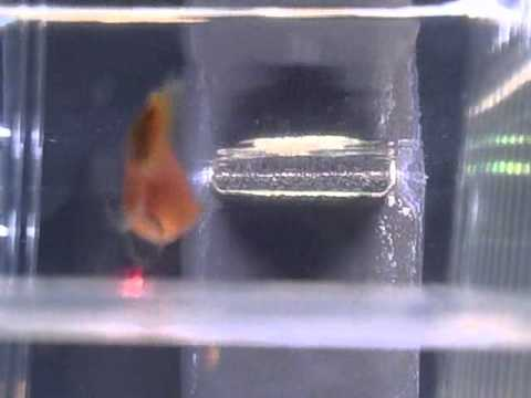 Mickey Mouse Platy Giving Birth