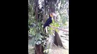 Big bird on TMII (burung rangkong Indonesia)
