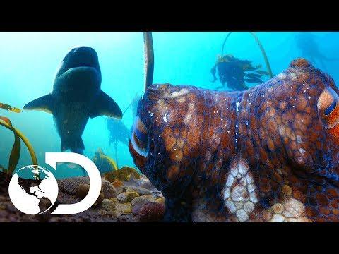 Lucha titánica entre un pulpo y un tiburón Alitán   Planeta Azul II   Discovery Latinoamérica