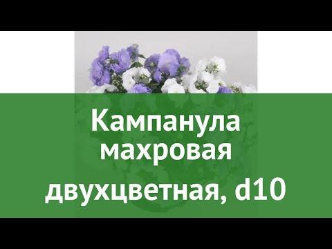 Кампанула махровая двухцветная, d10 обзор ЦКР0284 бренд производитель