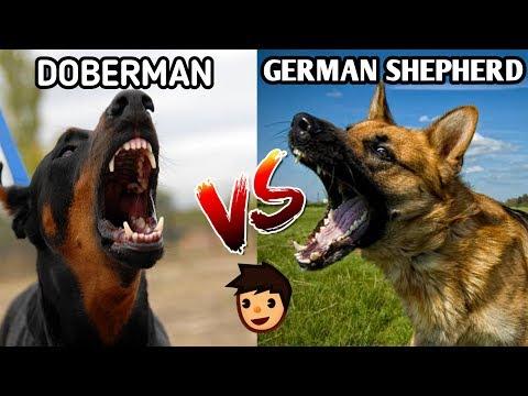 German Shepherd Vs Doberman / In Hindi / Dog vs Dog / German shepherd Vs Doberman pinscher