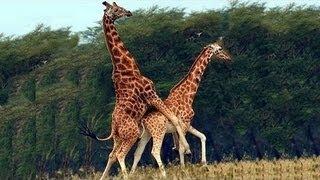 En İlginç 11 <b>Hayvan Çiftleşmesi</b> ve Ritüeli