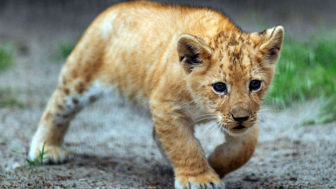Rare Adorable Liliger Cubs - YouTube