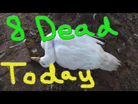 Really Bad News & Dug Working Hard #33 Raising Ducks For Charity