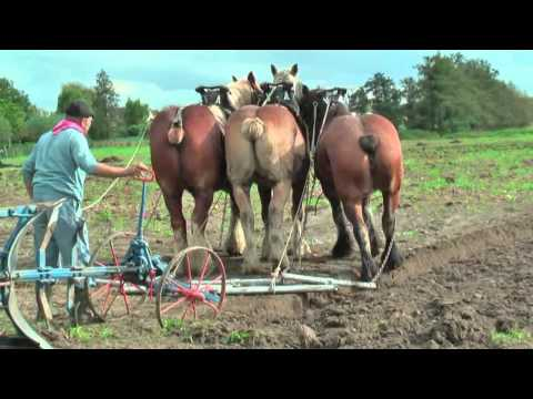 Strong Belgian Draft Horses Working on the Farm - Merelbeke
