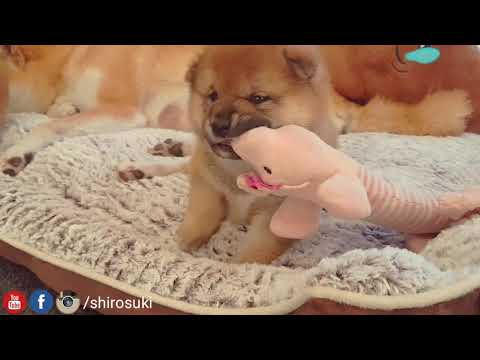My necc my bacc, why so chubby & so phat? Shiba Inu puppies (with captions)