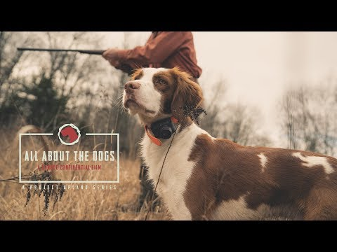All About the Dogs - An American Brittany Story - Project Upland