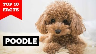 Poodle  Top 10 Facts