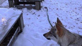 Собака боится выстрелов, петард, салютов. Как приучить собаку к выстрелам, салюту.