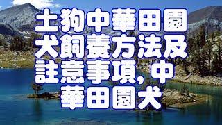 土狗/中華田園犬飼養方法及註意事項中華田園犬現在隨處可見,流浪的大多...
