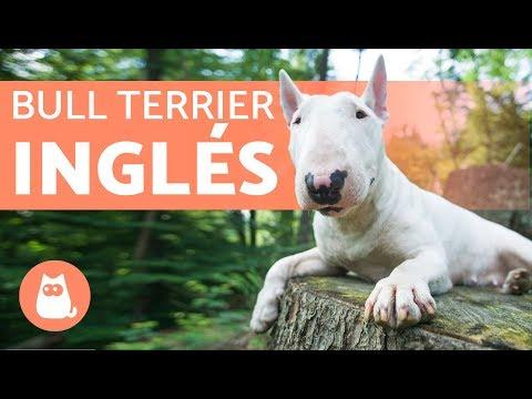Bull terrier inglés - Características y entrenamiento