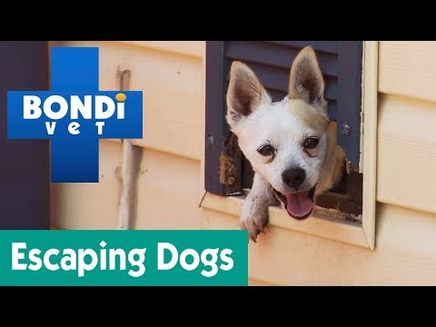 How To Stop My Dog From Escaping The Yard? | Ask Bondi Vet