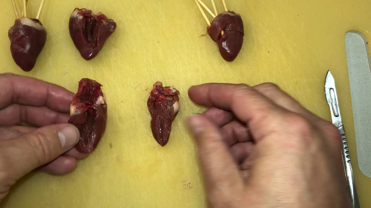 Chicken Heart Dissection - YouTube