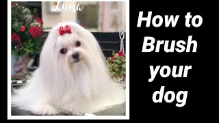 How to brush your dog with long hair: Maltese, Havanese, Coton, Yorkie