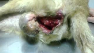 Фиолент-пёс по кличке Блондин-саркома-НЕ смотреть впечатлительным!!!