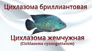 Аквариумные рыбки. Цхлазома бриллиантовая или жемчужная (Cichlasoma cyanoguttatum)