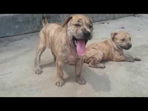 Chó Phú Quốc và Gà Cảnh