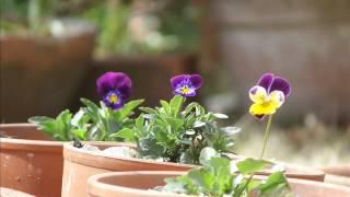 昨年の9月に種を蒔いたビオラ、26株を鉢植えに.