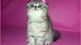 Котенок окраса вискас (девчушка)