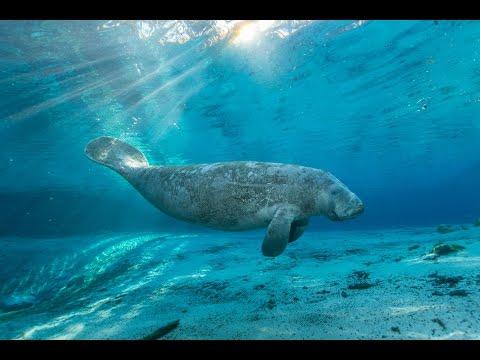 Florida Travel: See the Manatees of Crystal River 360 POV HDKaynak: YouTube · Süre: 1 dakika1 saniye