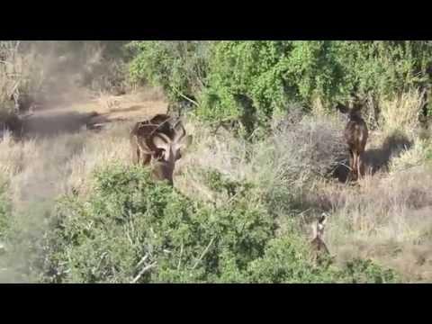 Kudu hunting in Africa