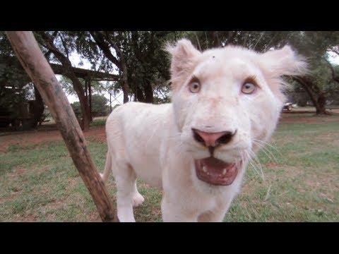 White Lion Cubs Playing Like Puppies