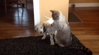 Dalmatian Puppy Plays With Cat For First Time