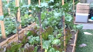 Growing Perennial Tree Kale in Northern California (Part 1 of 2)