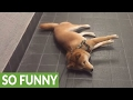 watch he video of Stubborn dog refuses to go home, gets dragged on leash