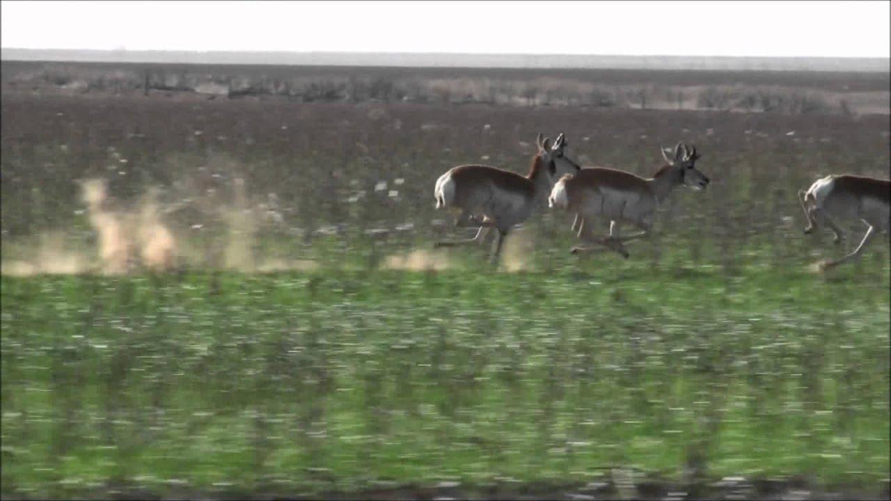 Pronghorn Antelopes Running At Full Speed Youtube
