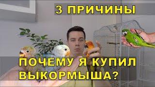 Купить попугая выкормыша или дикую птицу? Что лучше?