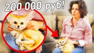Купила лису за 3000$! Что творит лиса фенёк?! Как жить с таким животным? Необычные питомцы дома